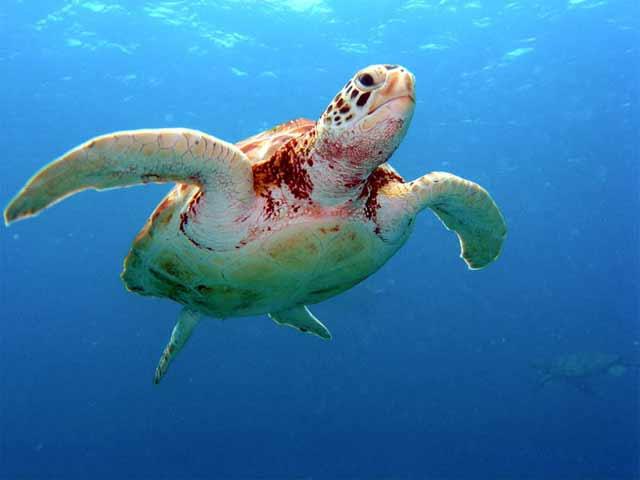 Tortuga marina en la costa Ningaloo